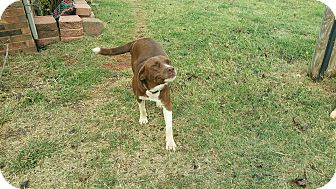 Labrador Retriever Mix Dog for adoption in guthrie, Oklahoma - Josie