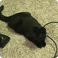 Domestic Shorthair Cat for adoption in Cincinnati, Ohio - Norman