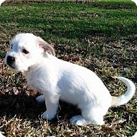 Adopt A Pet :: PUPPY ZINGARA - Hagerstown, MD