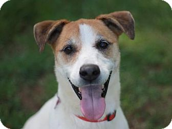 Jack Russell Terrier/Foxhound Mix Dog for adoption in Bedminster, New Jersey - Sid