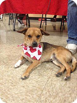Chihuahua Mix Dog for adoption in Yuba City, California - 02/20 Skylar