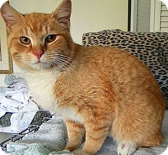 Domestic Shorthair Cat for adoption in Alexandria, Virginia - Nibbles