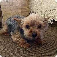 Adopt A Pet :: Punky - Phoenix, AZ