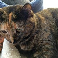 Adopt A Pet :: Tortellini - Prescott, AZ