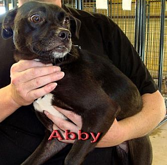 Chihuahua Mix Dog for adoption in Coleman, Texas - Abby