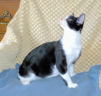 Domestic Shorthair Cat for adoption in Sunderland, Ontario - Felix