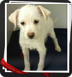 Terrier (Unknown Type, Small) Mix Puppy for adoption in Apache Junction, Arizona - Rex