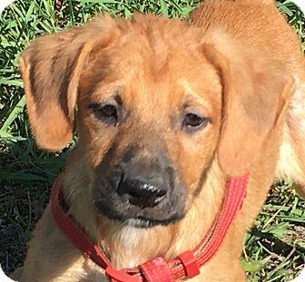 Labrador Retriever/Hound (Unknown Type) Mix Puppy for adoption in Pennigton, New Jersey - Tomas