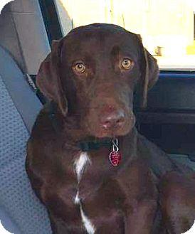 Labrador Retriever/Hound (Unknown Type) Mix Dog for adoption in Westport, Connecticut - *Tank - PENDING