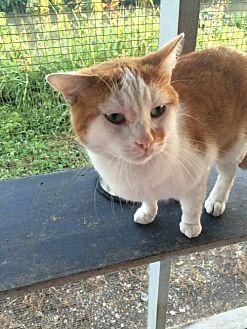 Domestic Shorthair Cat for adoption in Thibodaux, Louisiana - Frisky FE2-9569
