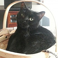 Adopt A Pet :: Midnight Petite CT - Westerly, RI