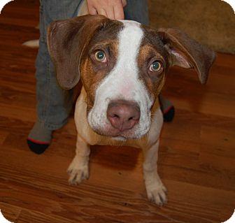 Great Dane/Terrier (Unknown Type, Medium) Mix Puppy for adoption in Minot, North Dakota - Maggie Lee