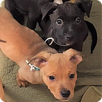 Adopt A Pet :: Puppies - North Olmsted, OH