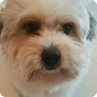 Shih Tzu Mix Dog for adoption in Fairfax, Virginia - Beethoven