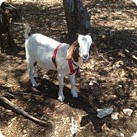 Adopt A Pet :: Mirabelle - Austin, TX
