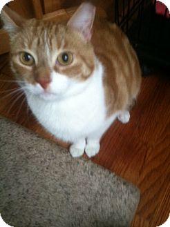 Domestic Shorthair Cat for adoption in Huntington Station, New York - COLBY