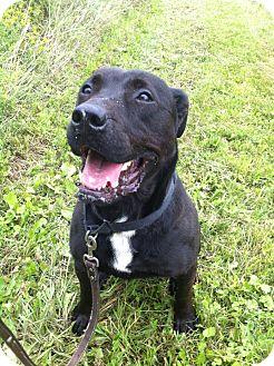 Pit Bull Terrier Mix Dog for adoption in East Smithfield, Pennsylvania - Athena