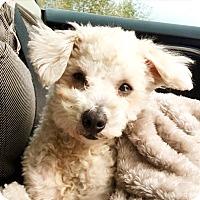 Adopt A Pet :: Bosley - North Bend, WA