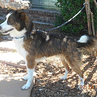 Sheltie, Shetland Sheepdog/Border Collie Mix Dog for adoption in haslet, Texas - brownie