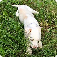 Adopt A Pet :: Charlie - Edisto Island, SC