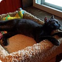 Adopt A Pet :: Chervil - Colmar, PA