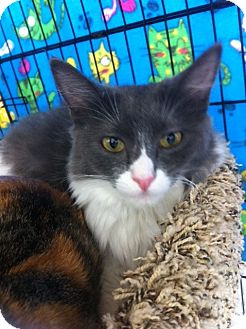 Domestic Mediumhair Kitten for adoption in Sacramento, California - Rain N