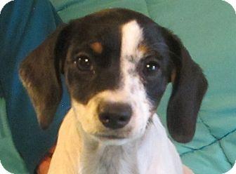 Beagle/Terrier (Unknown Type, Small) Mix Puppy for adoption in Harrisonburg, Virginia - Twinkie