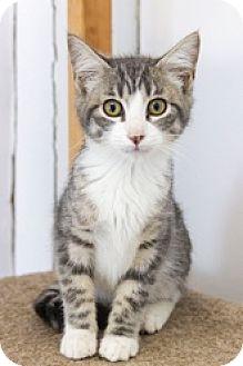 Domestic Shorthair Kitten for adoption in Baltimore, Maryland - Amber