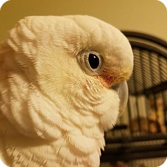 Cockatoo for adoption in Asheville, North Carolina - Caspar