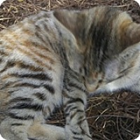 Domestic Shorthair Cat for adoption in Spring, Texas - Louise