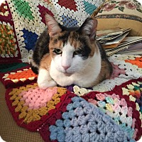 American Shorthair Cat for adoption in New York, New York - Callie