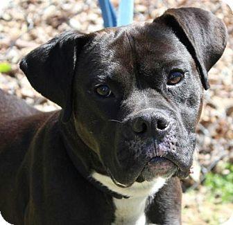 Boxer Mix Dog for adoption in Allentown, Pennsylvania - Oreo