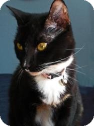 Domestic Shorthair Cat for adoption in Indian Rocks Beach, Florida - April