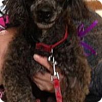 Adopt A Pet :: JOKER - Broomfield, CO