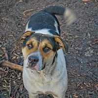 Labrador Retriever/Australian Shepherd Mix Dog for adoption in Pembroke, Georgia - Misty