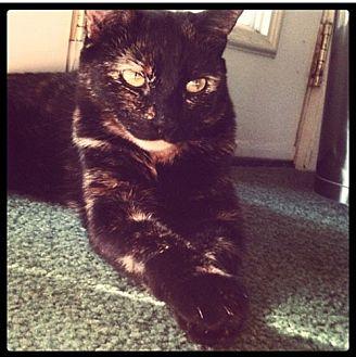 Calico Cat for adoption in Monrovia, California - Chica