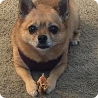 Adopt A Pet :: Trinket - Orange, CA
