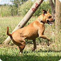 Rhodesian Ridgeback/Terrier (Unknown Type, Medium) Mix Dog for adoption in Palmetto Bay, Florida - Wendy