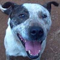Shepherd (Unknown Type)/Pit Bull Terrier Mix Dog for adoption in Pt. Richmond, California - BONITA
