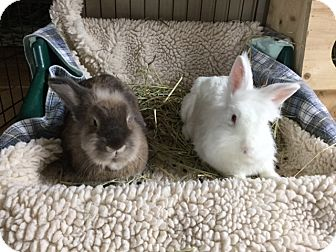 Lionhead Mix for adoption in Moneta, Virginia - Sugar and Spice