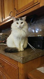 Persian Kitten for adoption in Baton Rouge, Louisiana - Brooke