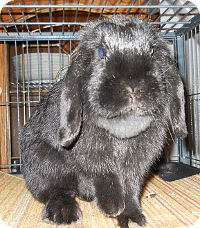 Lop, Holland Mix for adoption in Hahira, Georgia - Delilah