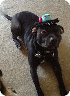 Pit Bull Terrier/Labrador Retriever Mix Dog for adoption in Livonia, Michigan - Hawkeye-ADOPTED