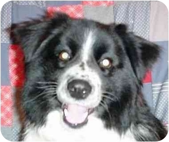 Border Collie Mix Dog for adoption in Tiffin, Ohio - Sarge--ADOPTED!!