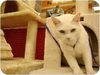 Oriental Cat for adoption in Owasso, Oklahoma - Petco-Emma