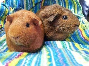 Guinea Pig for adoption in Fullerton, California - Daisy and Selena