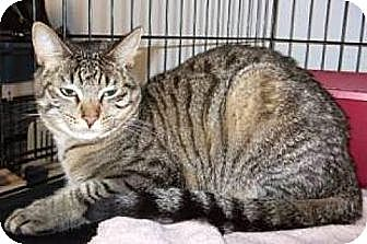 Domestic Shorthair Cat for adoption in Miami, Florida - Comet