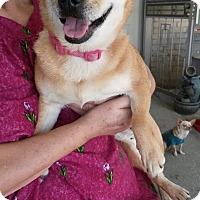 Pug Mix Dog for adoption in Schertz, Texas - Suki JH