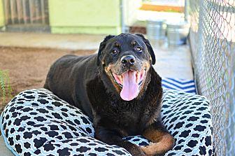 Rottweiler Dog for adoption in Acton, California - Kino