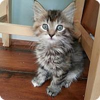 Adopt A Pet :: Piccolo - Union, KY